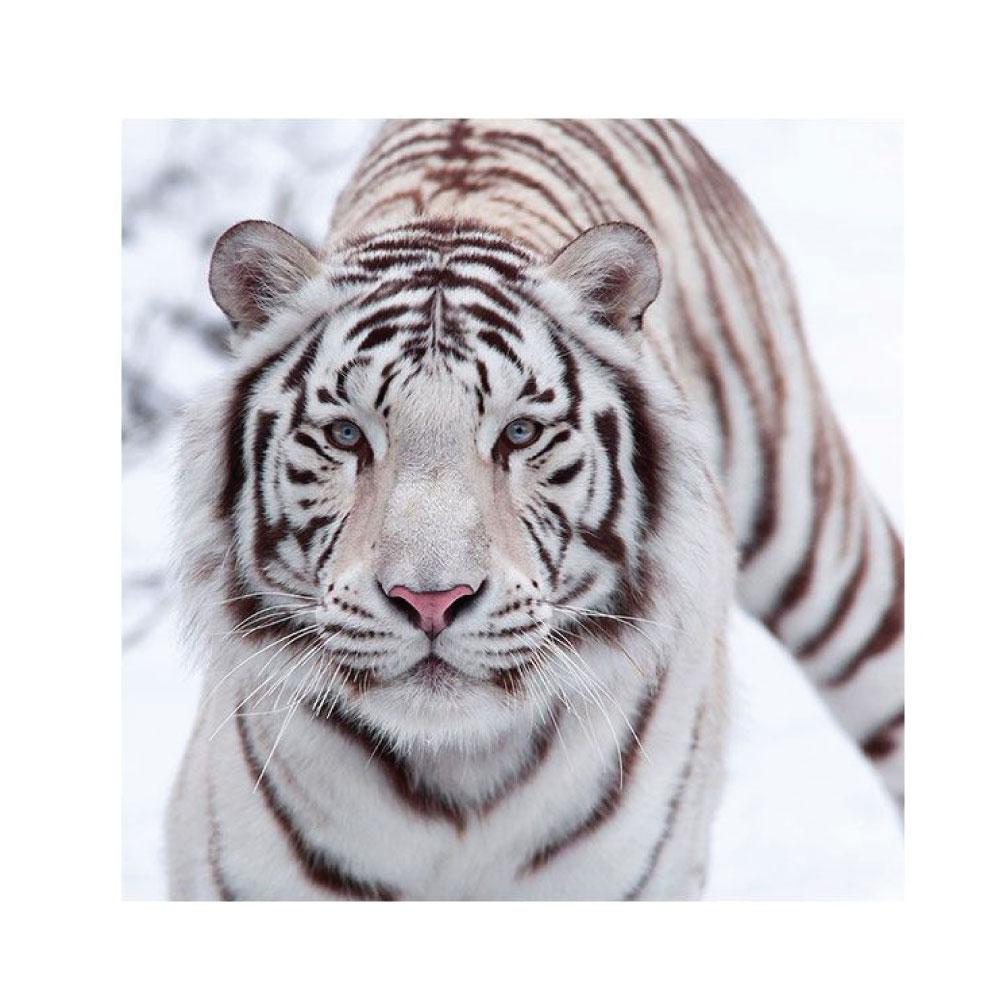 Hartschaumbild Tiger Weiß quadratisches Bildformat